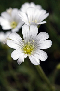 Photo - Mouse-ear Chickweed