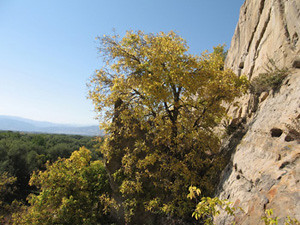 Photo - Native Hackberry tree