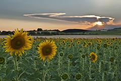 """Mirasoles"" (Francisco Esteve Herrero) Tags: atardecer sunflowers sunflower lightroom girasoles 2013 mogente bestcapturesaoi vigilantphotographersunite vpu2 vpu3 vpu4"