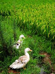 Ducks in the paddy field (Melinda ^..^) Tags: china plant green field flying duck rice paddy grain mel crop poultry melinda quack  lianping chanmelmel