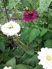 "Zinnias in the heirloom tomato patch • <a style=""font-size:0.8em;"" href=""https://www.flickr.com/photos/54958436@N05/9397401512/"" target=""_blank"">View on Flickr</a>"
