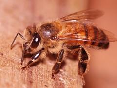 Bee (Dis da fi we) Tags: honeybee bee puntagorda toledodistrict belize toledo hickateebelize hickateepuntagorda jungle rainforest forest wildlife culture cottages hickatee