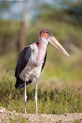 Marabou Stork (arfromqatar) Tags: tanzania nikon qatar maraboustork nikond800 nikon200400f4 عبدالرحمنالخليفي arfromqatar qatar2022fifaworldcup abdulrahmanalkhulaifi