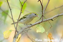 Chestnut-sided Warbler (rjm284) Tags: fall birds ma lexington massachusetts birding chestnutsidedwarbler cswa rjm284 arlingtonsgreatmeadows