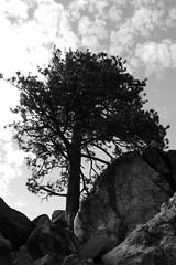 (cyclotourist) Tags: california bear castle rock big