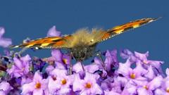"""""""Hairy Back""""  Small Tortoiseshell (dangerousdavecarper) Tags: uk sky butterfly insect flying buddleia tortoiseshell"""