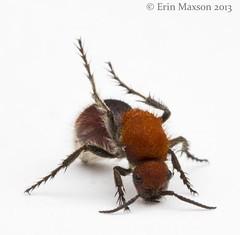 Velvet Ant female (Dasymutilla sp.?) (erin_maxson) Tags: macro female insect wasp grooming arthropod hymenoptera macroinvertebrate velvetant cowkiller mutillidae parasitoid aposematic parasitoidwasp dasymutilla