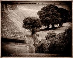Converging paths (Stuart Feurtado) Tags: blackandwhite bw tree monochrome field sepia landscape nikon path chilterns buckinghamshire foliage nik footpath bucks d600 chilternhills silverefex niksw