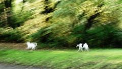 running dogs (Darek Drapala) Tags: park light dog pet pets color art dogs animal animals lumix panasonic g2 panasonicg2