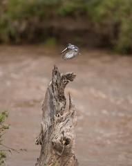 Pied Kingfisher (Ceryle rudis) (kerrybluett100) Tags: kenya safari masaimara piedkingfisher canon5dmk111 canon300f28mk11