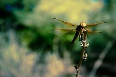 Phoenix2013-7 (silvernitratephoto) Tags: phoenix dragonfly sony cybershot rx1 mexicanamberwing
