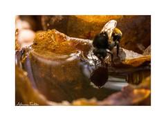 af1311_0829 (Adriana Fchter) Tags: macro animal animals fauna mel honey sem makro cera favo apicultura abelhas polinizao ferro entomologia abelhassemferro mandaaia meliponicultura meliponrio abelhasbrasileiras abelhasindigenas