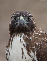Red-tailed Hawk (markvcr) Tags: california point hawk raptor predator reyes redtailedhawk buteo jamaicensis