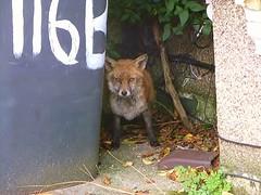 fox at the front of my home (helenoftheways) Tags: uk london freeassociation wildlife foxes zorro magicmoments wheelybin hithergreen injuredfox