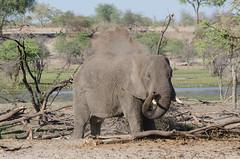 Afrikanischer Elefant / African Bush Elephant (brainstorm1984) Tags: elephant wildlife safari botswana elefant centraldistrict loxodontaafricana makgadikgadi elephantidae afrikanischerelefant africanbushelephant botsuana makgadikgadipansnationalpark leroolatau africansavannaelephant desertdeltasafaris makgadikgadipansgamereserve elangeniafricanadventures