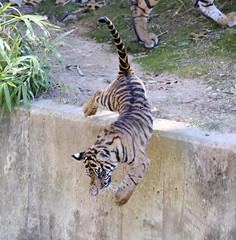 SAS_2804 (SSipple) Tags: animals tigers nationalzoo sumatrantiger tigercubs animalbabies smithsoniannationalzoo