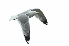 Caspian gull / Larus cachinnans / Pontische meeuw ad (Herman Bouman) Tags: ad caspiangull laruscachinnans pontischemeeuw