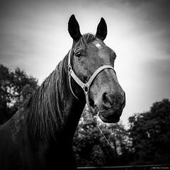 Black Beauty III (M a r c O t t o l i n i) Tags: bw horse black 6x6 film zeiss square cheval switzerland countryside noir suisse kodak trix nb apples mf carré vaud trix400 hasselblad500cm macroplanar vuescan epsonv700 epsonperfectionv700 marcottolini macroplanar40120mm