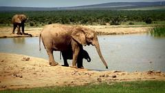 Addo Elephants Park (Andres.np) Tags: africa safari viajes travelers apartheid viajeros sudafrica andresnp