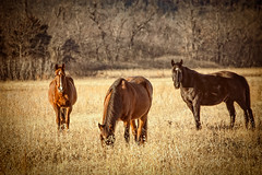 Three_Horses_Grazing (Carol Clay) Tags: horses horse mountain fall grass grazing eatinggrass threehorses