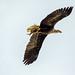 Conowingo-Eagles-3278 jpg