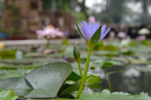 Water Lily, in a park, in Saigon