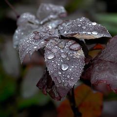 Ice is Nice. (Omygodtom) Tags: cold macro nature leaves weather season lens leaf nikon dof bokeh existinglight icy tamron90mm dk7 d7000