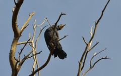 Cormorant 5 (orientalizing) Tags: park desktop birds animals river israel telaviv cormorant yarkon featured europeanshag
