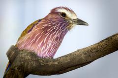 Pretty Bird 3 (rexboggs5) Tags: california park ca bird san diego safari thepinnaclehof compstp0114fcgo114 tphofweek239