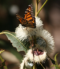 Monarch on Eucalyptus Flower (philipbouchard) Tags: california orange santacruz flower butterfly insect monarch nectar eucalyptus hibernation sip lighthousefield nymphalidae danausplexippus overwinter