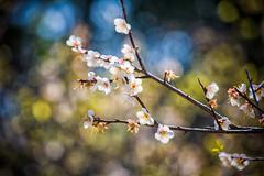 GTJ-20140120-7 (goteamjosh) Tags: mountains taiwan sakura cherryblossoms   taoyuan  plumblossoms  fuhsing