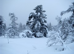 Trees in Winter (bjorbrei) Tags: trees winter snow cold norway forest norefjell