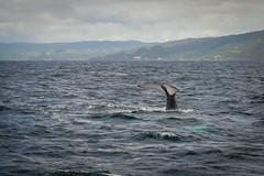 DSC_1425.jpg (Enjoy Patrick Responsibly) Tags: nature animals nikon dominicanrepublic caribbean whales humpback excursion whalewatching samana caribbeantravel uncommoncaribbean