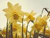 DSC_0040 - Faded... (SWJuk) Tags: park uk england home spring nikon raw pov lancashire faded daffodils lightroom gardencentre burnley 2014 d90 towneley towneleypark nikond90 swjuk mygearandme mar2014