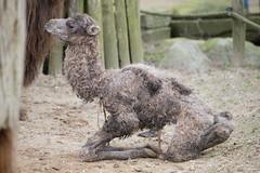 2014-03-23-11h47m01.BL7R0460 (A.J. Haverkamp) Tags: zoo thenetherlands camel amersfoort dierentuin kameel dierenparkamersfoort canonef70200mmf28lisusmlens httpwwwdierenparkamersfoortnl pobamersfoortthenetherlands dob23032014