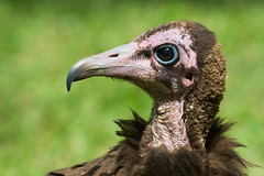 Very detailed head-shot of a young Hooded Vulture (Dave Montreuil) Tags: africa portrait macro bird strange beautiful closeup head profile young thoughtful headshot sharp clear ugly westafrica gambia senegal vulture lovely immature juvenile hooded dignified necrosyrtes manachus
