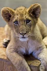 Lion cub portrait:  Ken (Bob Worthington Photography) Tags: cute cub lion ken posing dixie sandiegozoosafaripark wildanimalpark032314
