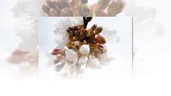 FRAGIL (Buscavientos) Tags: espaa flores valencia mar video spain playa alicante jasmin cala comunidadvalenciana btera glicinia lalbufera calabaladrar