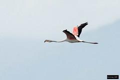 Greater Flamingo (Phoenicopterus roseus) (Dave 2x) Tags: phoenicopterusroseus phoenicopterus roseus greaterflamingo greater flamingo lanyangriverestuary lanyang river estuary yilan ilan taiwan inflight leastconcern