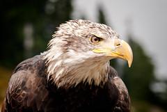 Bald Eagle (Mike McHolm) Tags: canada d80 grousemountain mcholm mikemcholm nikon vancouver