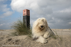 Sarah (dewollewei) Tags: sarah oldenglishsheepdog oldenglishsheepdogs old english sheepdog sheepdogs sophieandsarah sophieensarah ameland pole hollum waddeneilanden wadden wad waddenzee waddeneiland beach sand sky strand