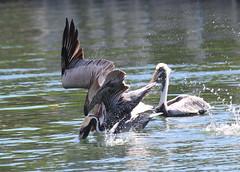 Canon2017.03.21 085 (seahorse19911) Tags: birds canon20170321 florida floridakeys pelicans