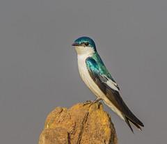 White Winged Swallow-5376.jpg (donnatopham) Tags: transpantanera pantanal swallow brazil