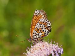 Melitaea cinxia (Wegerich-Scheckenfalter) (cepete12) Tags: tagfalter