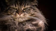 su intensa mirada (mariano sánchez gª. del moral) Tags: javierarbesu luanco animal bigotes casa cruz gata mirada gato