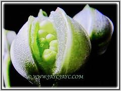 Impatiens balsamina's dehiscent seed pods (jayjayc) Tags: flickr17 jaycjayc gardenbalsam gardenjewelweed touchmenot rosebalsam spottedsnapweed seedpods impatiensbalsamina kualalumpur malaysia