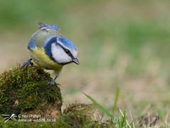 Blue tit-5 (Neil Phillips) Tags: aves cyanistescaeruleu eurasian bird bluetit tit titmouse