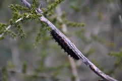 Orugas de Euphydryas aurinia en madreselva (esta_ahi) Tags: fontrubí penedès barcelona españa spain испания oruga larva larvae euphydryas aurinia euphydryasaurinia nymphalidae lepidoptera insectos fauna madreselva lligabosc lonicera caprifoliaceae