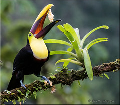'cats meow' (d-lilly) Tags: costarica costarica2016 toucans blackmandibledtoucan naturestapestryphotoadventuretours rainforest nature birds