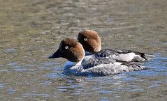 Common Goldeneye females-1